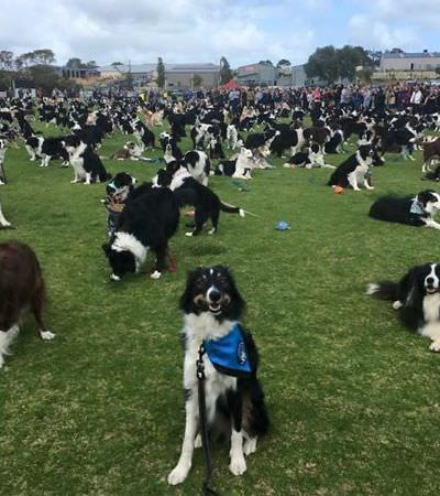 Uniram 576 border collies e criam um recorde da fofura na Austrália