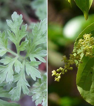 Conheça as plantas legalizadas que alteram a consciência e os sonhos