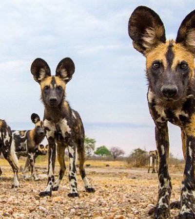 A espécie de cão selvagem que tem sistema democrático de votos para decidir quando caçar