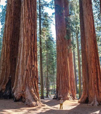 Sequoias gigantes, que vivem até 3 mil anos, terão genoma mapeado