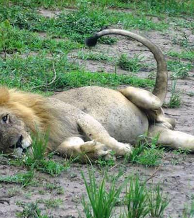 Leão que perdeu uma pata ao cair em armadilha de caçador mostra força para se adaptar e seguir vivendo