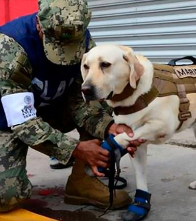 Conheça Frida, a cachorra que já ajudou no resgate de ao menos 56 no México