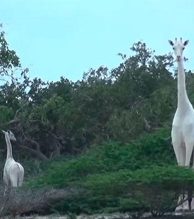 Por que será que existem girafas 'albinas' no Quênia?