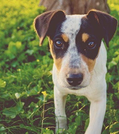 Vira-lata é o cão preferido dos brasileiros, conclui pesquisa