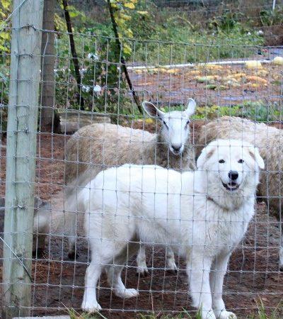 Justiça nos EUA manda cortar cordas vocais de cães que latem demais