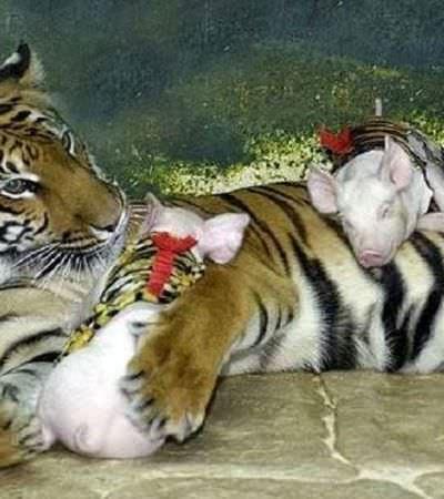 Mãe tigre que ficou deprimida após perder filhotes ganha nova vida ao adotar porquinhos 'vestidos com roupas tigresa'