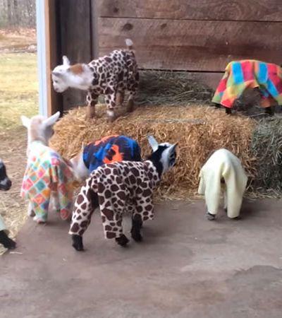 Não há mau humor resista com esta festa do pijama das cabras bebê