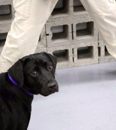 Conheça Lulu, a cachorra que foi 'demitida' por falta de vontade de trabalhar na CIA
