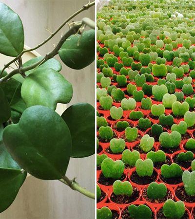 Suculentas em forma de coração levam amor e verde à sua casa