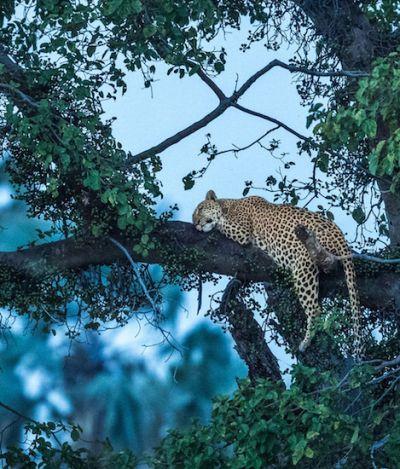 Ele se embrenhou na selva para fotografar um leopardo como você nunca viu