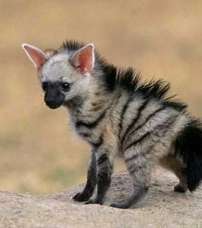 Conheça o aardwolf, o animalzinho feio mais fofo do planeta