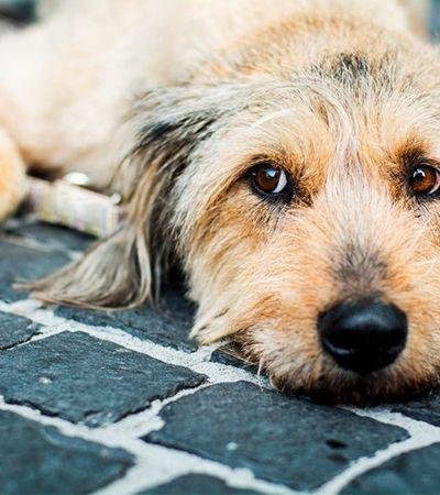 Porque adotar um cão idoso pode ser maravilhoso