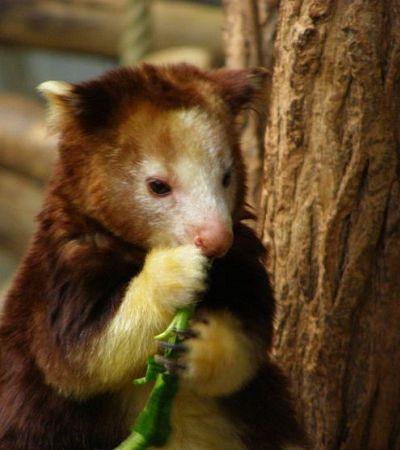 O animal mais fofíneo da Austrália parece uma mistura de coala com canguru
