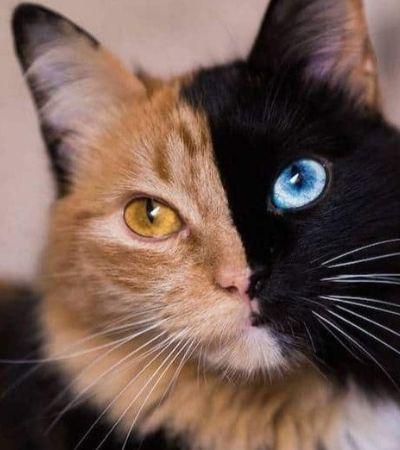 Esta é Quimera, a gatinha 'duas caras' mais fofa da internet