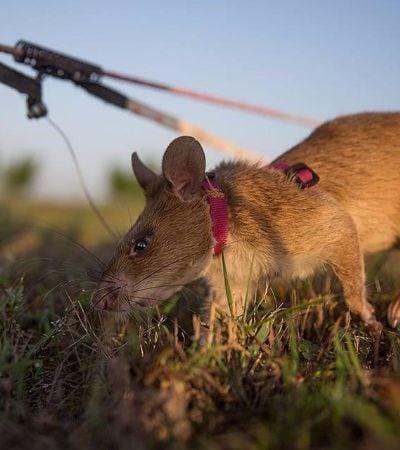 Estes ratos gigantes salvam vidas humanas e de outros animais 'caçando' minas terrestres