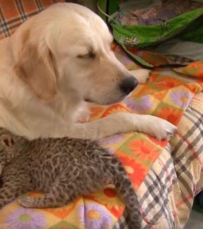 Esta golden retriever decidiu adotar um filhotinho de leopardo na Rússia