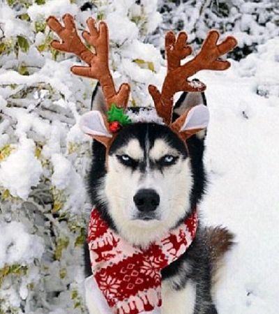 Este husky siberiano não tem a menor disposição para entrar no espírito natalino
