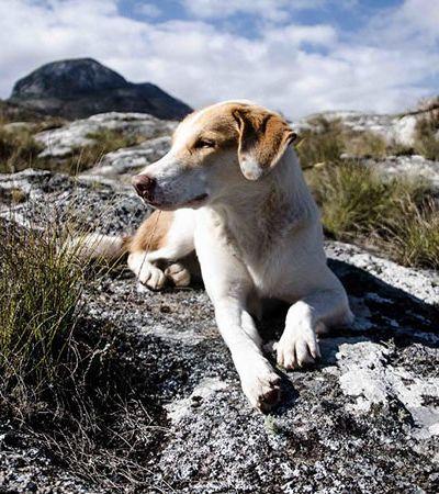 De cão segurança a cão viajante: conheça a trajetória de Ginger