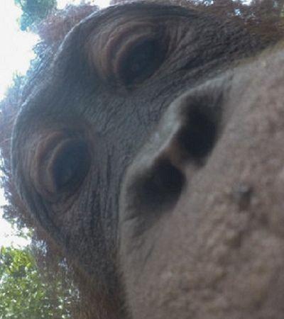 Este orangotango roubou uma câmera e tirou selfies maravilhosas