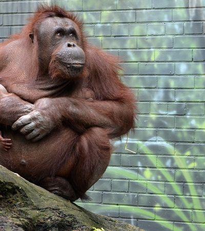 Orangotangos selvagens estão usando plantas medicinais, constatam cientistas