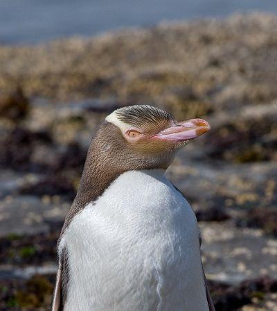 Conheça a espécie de pinguins super rara que está prestes a ser extinta