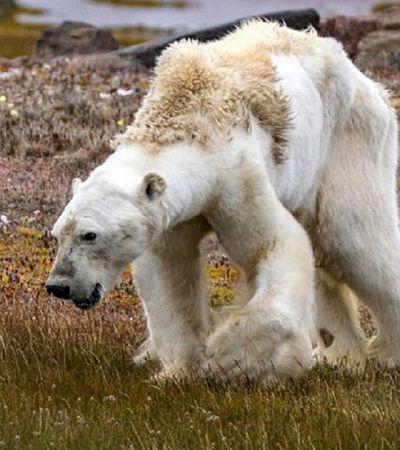 Tudo o que sabemos sobre o urso polar faminto que desesperou a internet