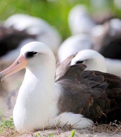 O pássaro mais velho do mundo a botar um ovo tem 67 anos e se chama 'Sabedoria'