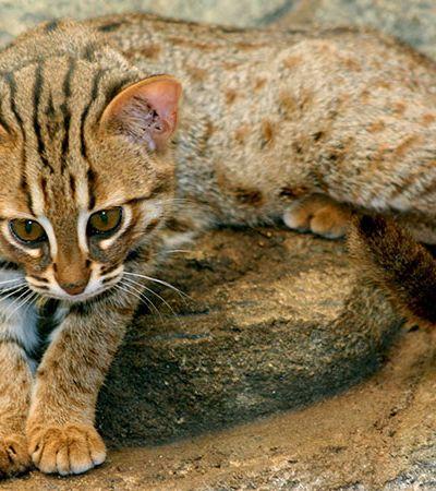Conheça a menor espécie de gato selvagem do mundo: 1,5 kg e menor que seu bichano