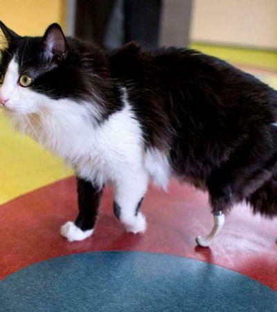 Após ser atropelado, gatinho ganha 'patas biônicas' e volta a andar normalmente