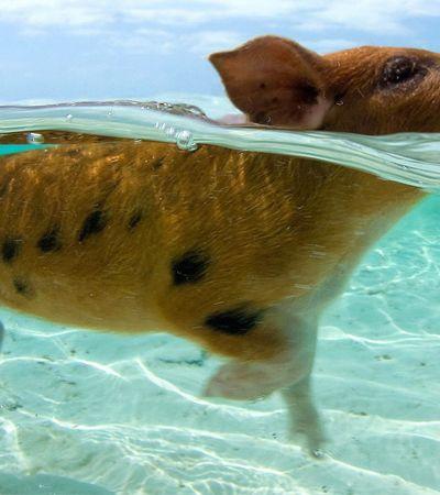 A ilha dos porcos nadadores nas Bahamas não é um paraíso fofinho