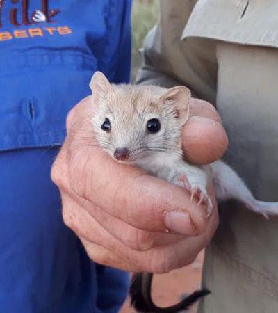 Este simpático roedor estava 'extinto' há um século – e agora ressurgiu