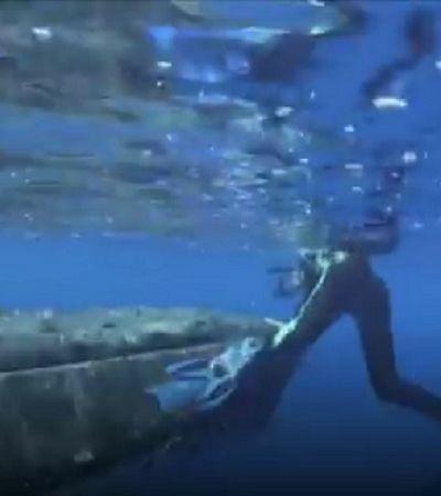 Baleia-jubarte salva bióloga do ataque de um dos tubarões mais agressivos que existe