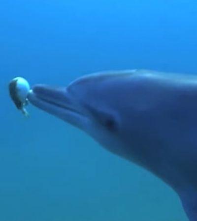 Documentário da BBC mostra golfinhos 'chapados' em ambiente selvagem