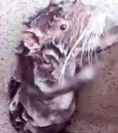 Ratinho tomando banho está mesmo se limpando mas provavelmente não está sofrendo