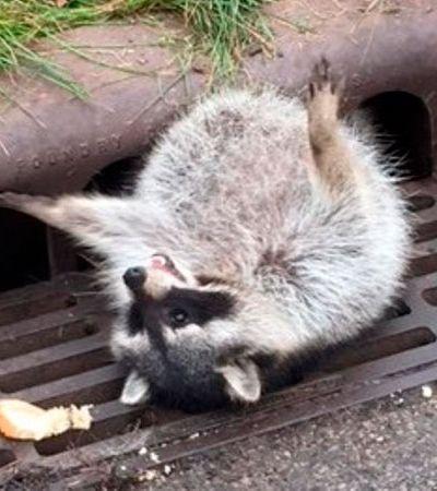 Me representa: Guaxinim exagera, come muito e fica entalado em bueiro