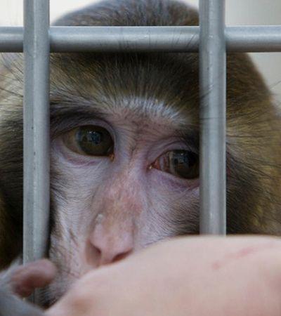 Universidade força macacos a ingerirem cocaína e internet tenta barrar o absurdo