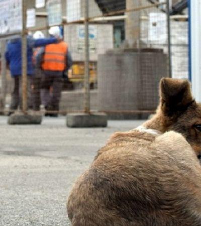 Em Chernobyl, grupo cuida de cachorros abandonados e defende que eles sejam adotados