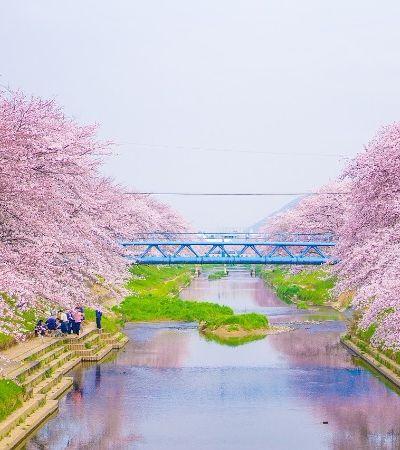 Sakura: data e local ideais para o espetáculo das flores de cerejeira em 2018