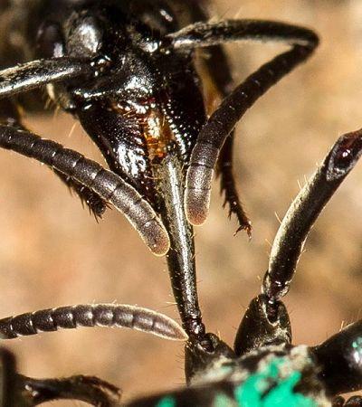 O tipo de formiga que resgata as companheiras e oferece cuidados médicos