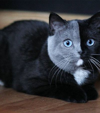 Gato nascido com 'duas caras' cresce e se torna um dos bichanos mais lindos que você já viu