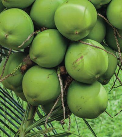 Água de coco é tão pura e completa que chegou a ser injetada no lugar do soro fisiológico
