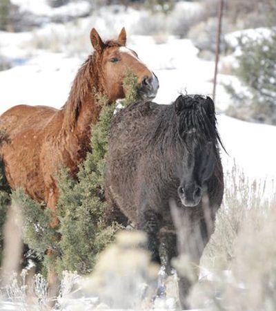 O emocionante reencontro destes casal de cavalos selvagem 'grávidos' após separação dramática