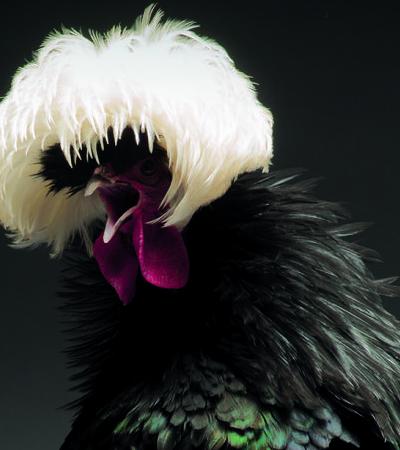 Fotógrafo cria retratos incríveis para nos lembrar a beleza das galinhas
