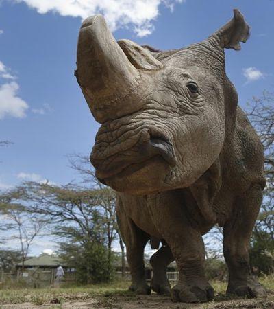 Morreu o último rinoceronte-branco do mundo, no Quênia