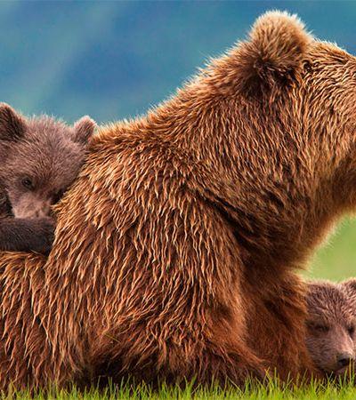 Por conta dos caçadores, ursos estão cuidando mais tempo de seus filhotes