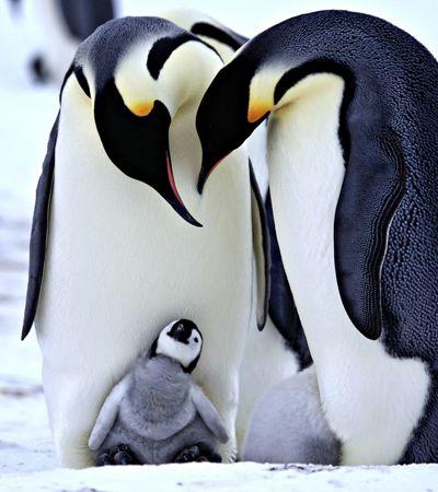 Pinguins são monogâmicos? 6 mitos sobre animais que não fazem sentido