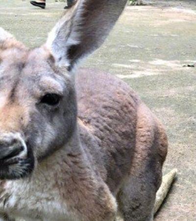 Canguru morre em zoológico após ser apedrejado para que pulasse