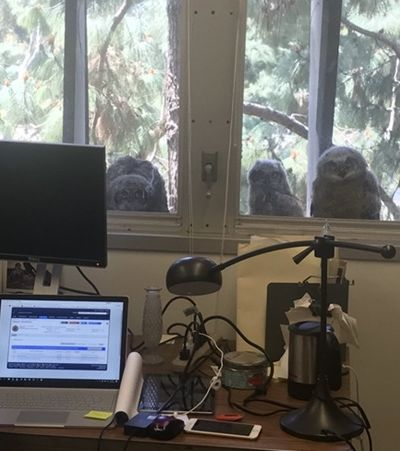 Fotos de corujas voyeurs que não param de espiar este escritório viralizam nas redes