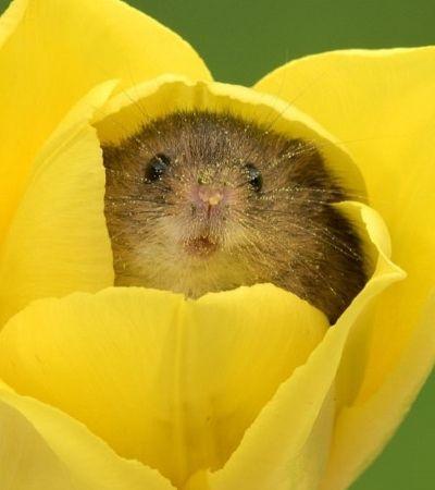 Pequenos roedores brincando entre as tulipas provam que nem todo rato é assustador