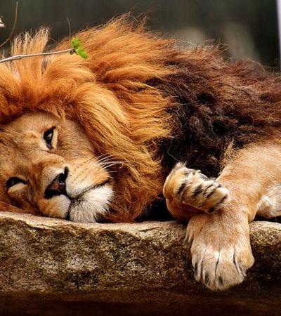 11 leões são achados mortos sob suspeita de envenenamento em Uganda